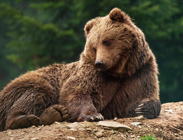 A stock image of a brown bear resting on forest ground.