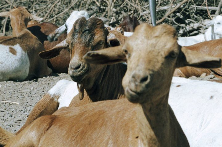 Goats are shown in Ngorongoro, Tanzania, in this file photo.