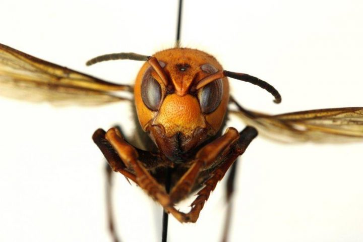 The Asian giant hornet is the largest hornet in the world.