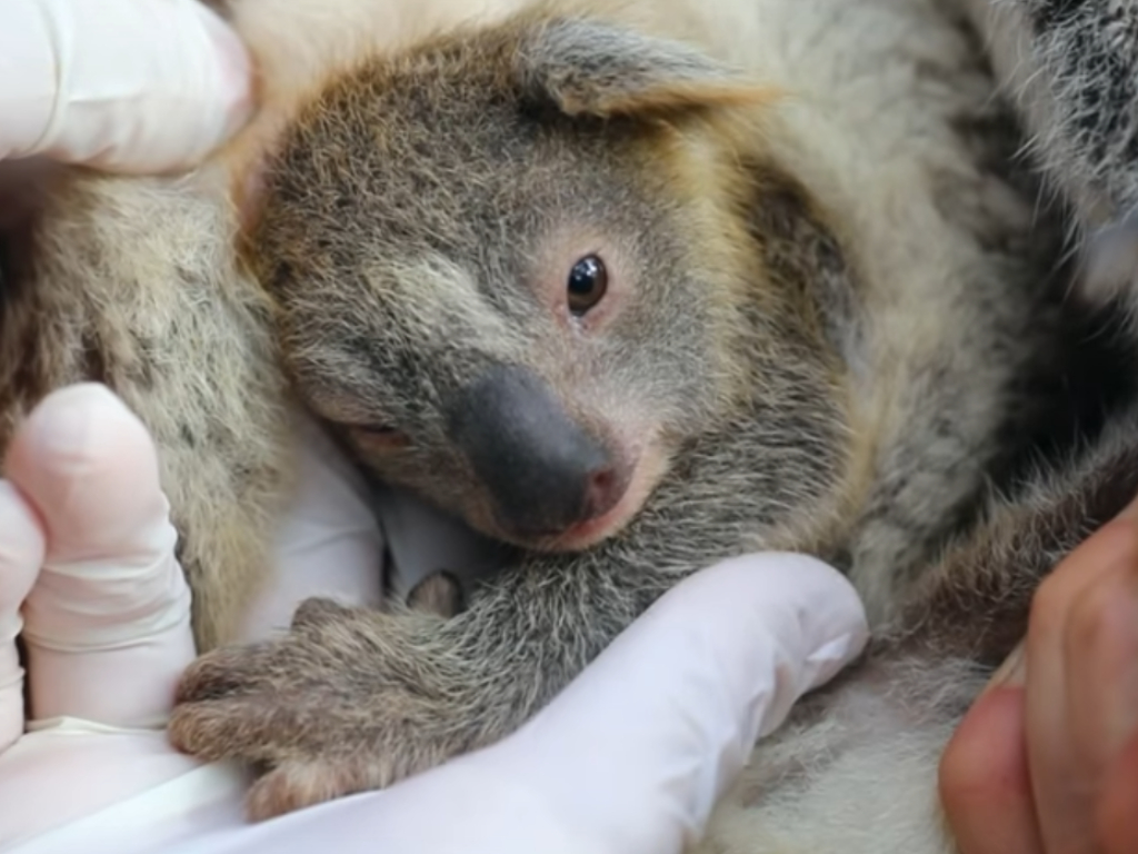 Zoo keepers at Australian Reptile Park welcomed their first koala joey since the wildfires killed around 25,000 of them.