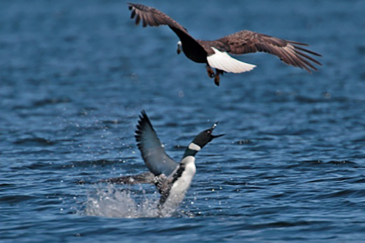 A loon is shown lashing out at a bald eagle in this file photo.