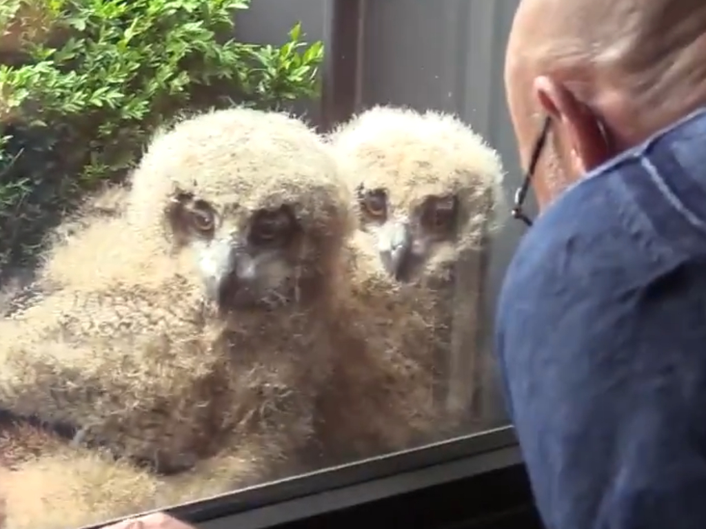 A Eurasian eagle owl, Europe's biggest owl, made a nest outside Belgian Jos Baart's home. After her three chicks hatched, they started watching TV with him.