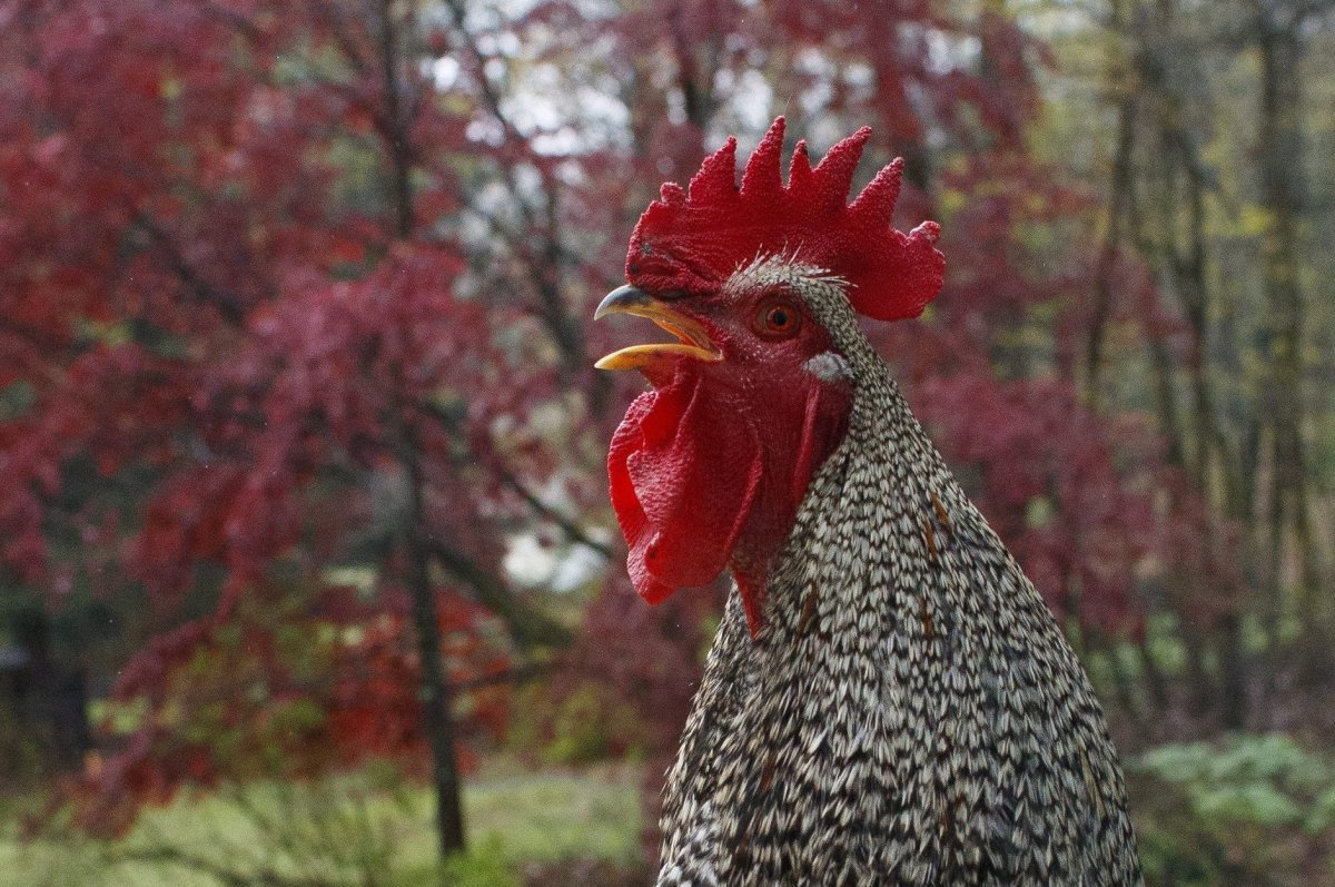 A rooster is shown in this file photo from Apr. 24, 2020.