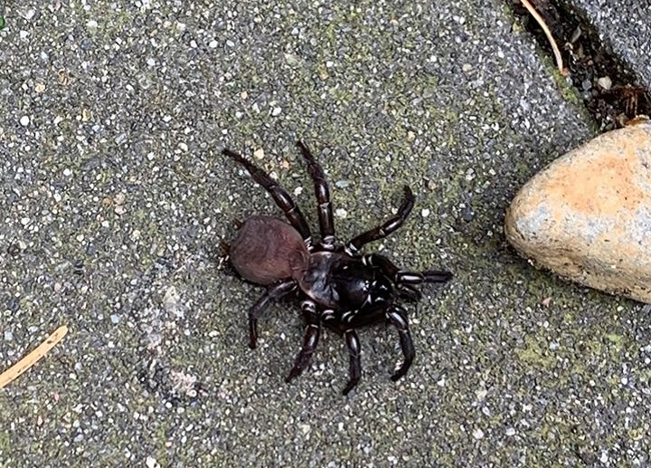 The Pacific folding door spider is native to the area, and while it looks scary is not dangerous to humans.