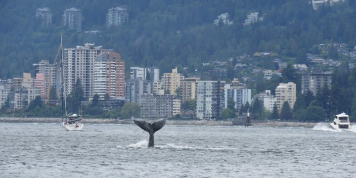 A humpback whale sighted splashing near the Lions Gate Bridge on Friday.