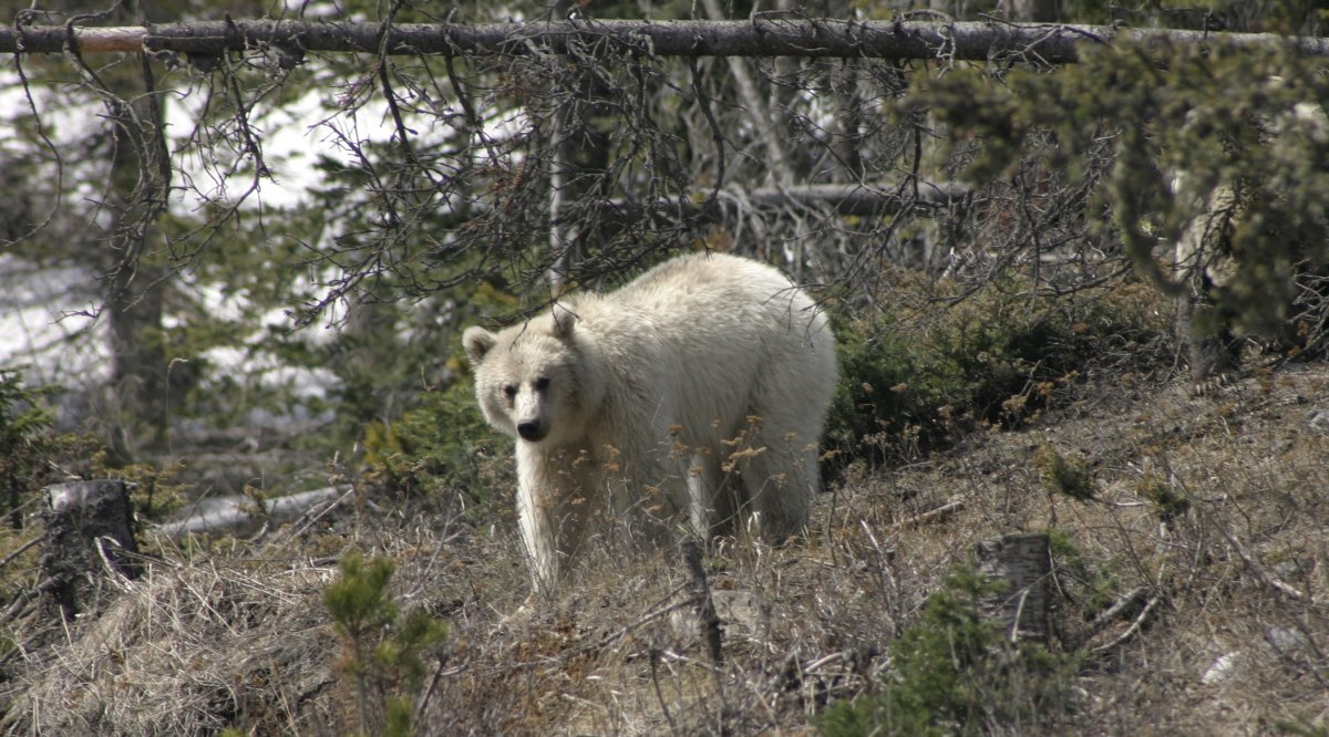 Banff National Park's white grizzly named Nakoda.