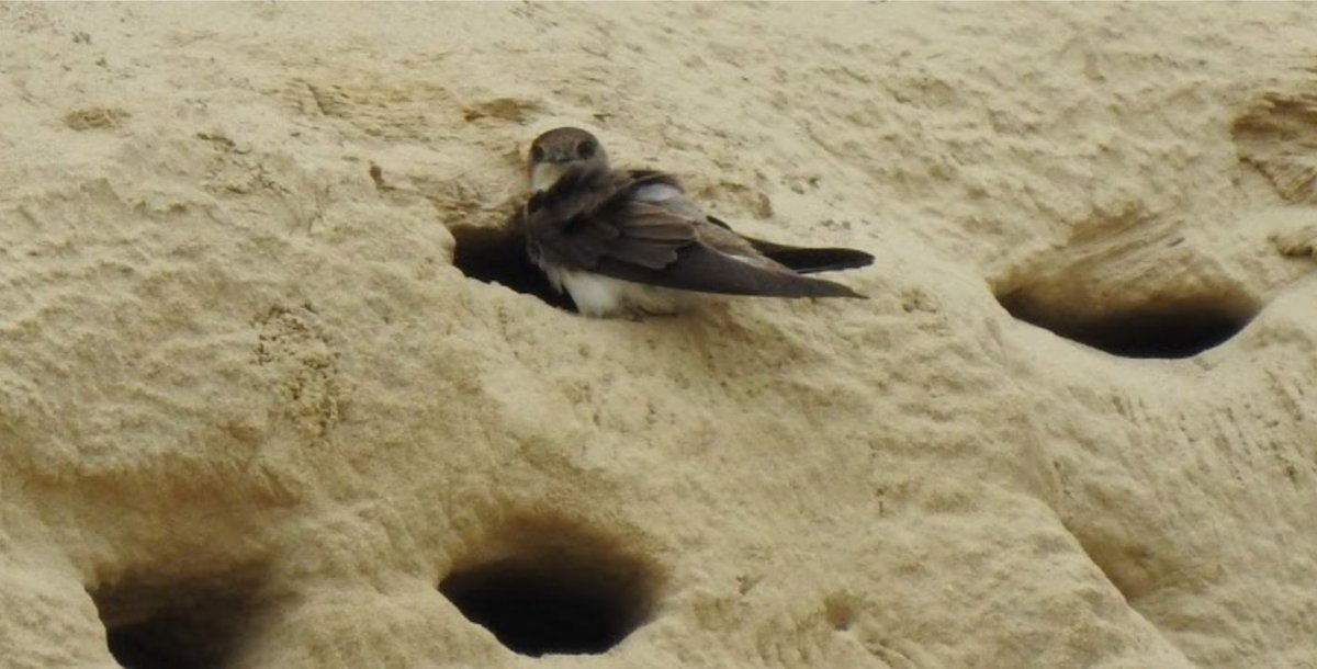 Bank swallows are a protected specie under the Endangered Species Act as well as the Migratory Birds Convention Act.