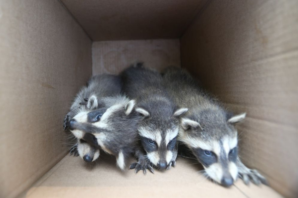 Orphaned baby raccoons are shown in this file photo.