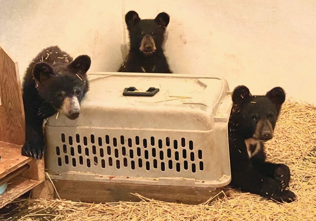 The three rescued bear cubs.