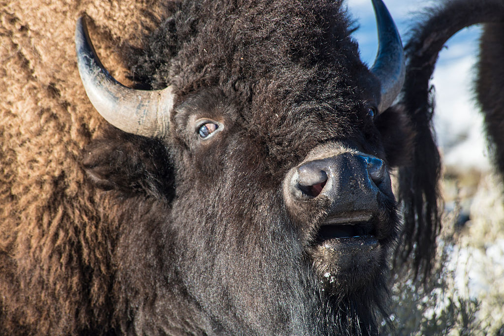 A large bull bison from the genetically pure bison herd grazes on the Blacktail Plateau in in Yellowstone National Park.