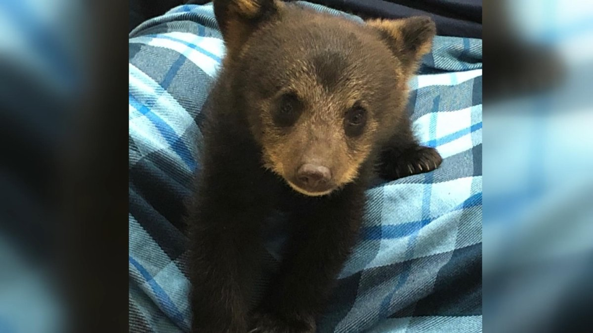 A young black bear was killed by the department of lands and forestry after being dropped off at an animal rescue centre.