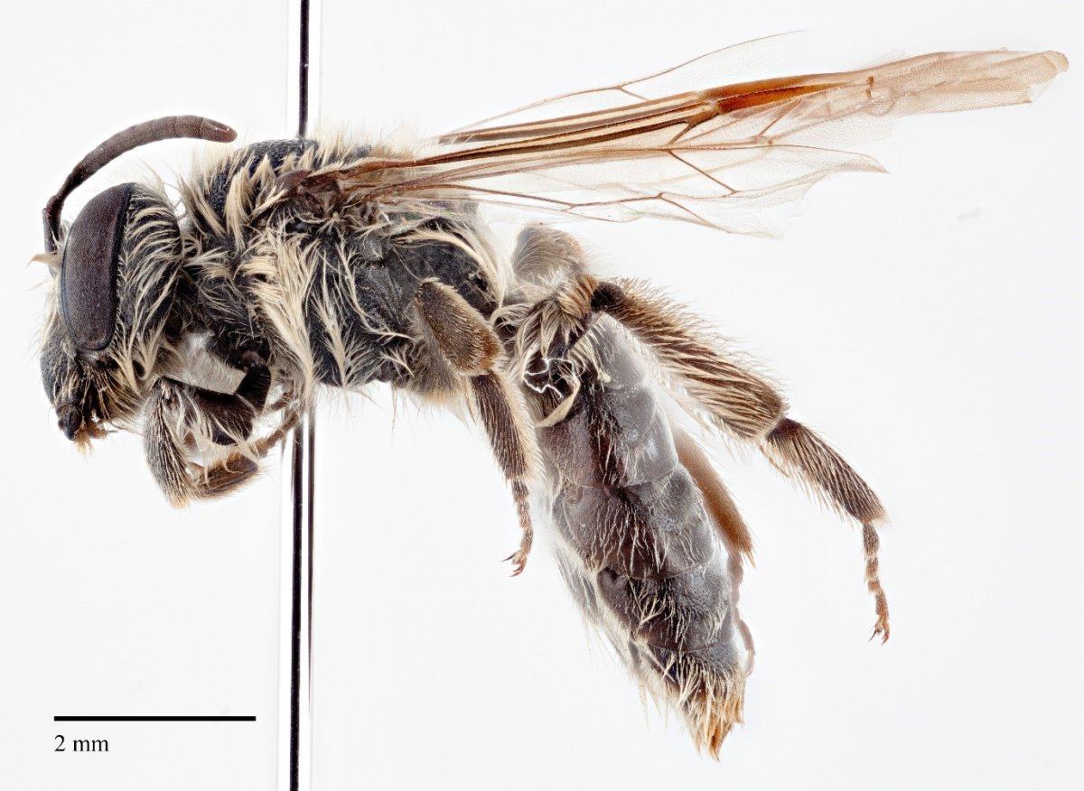 Cory Sheffield named the new bee species Andrena hadfieldi after Canadian astronaut Chris Hadfield.