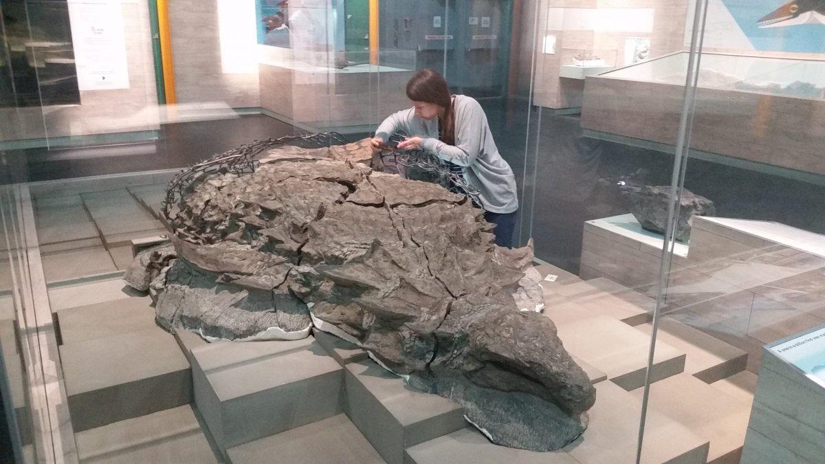 Brandon University student, Jessica Kalyniuk examines a fossilized nodosaur at the Royal Tyrrell Museum in Alberta.