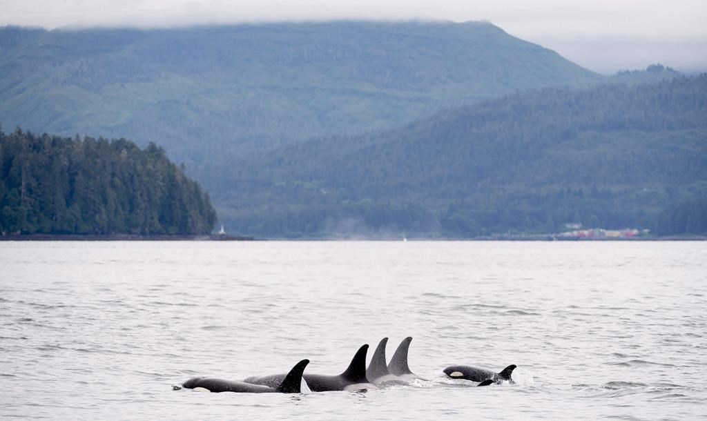 Orcas play in Chatham Sound near Prince Rupert, B.C., Friday, June, 22, 2018. A hush has blanketed the waters off the British Columbia coast as the pandemic has marked a significant reduction in sea traffic, which scientists say is an opportunity to study how noise affects southern resident killer whales. THE CANADIAN PRESS Jonathan Hayward.