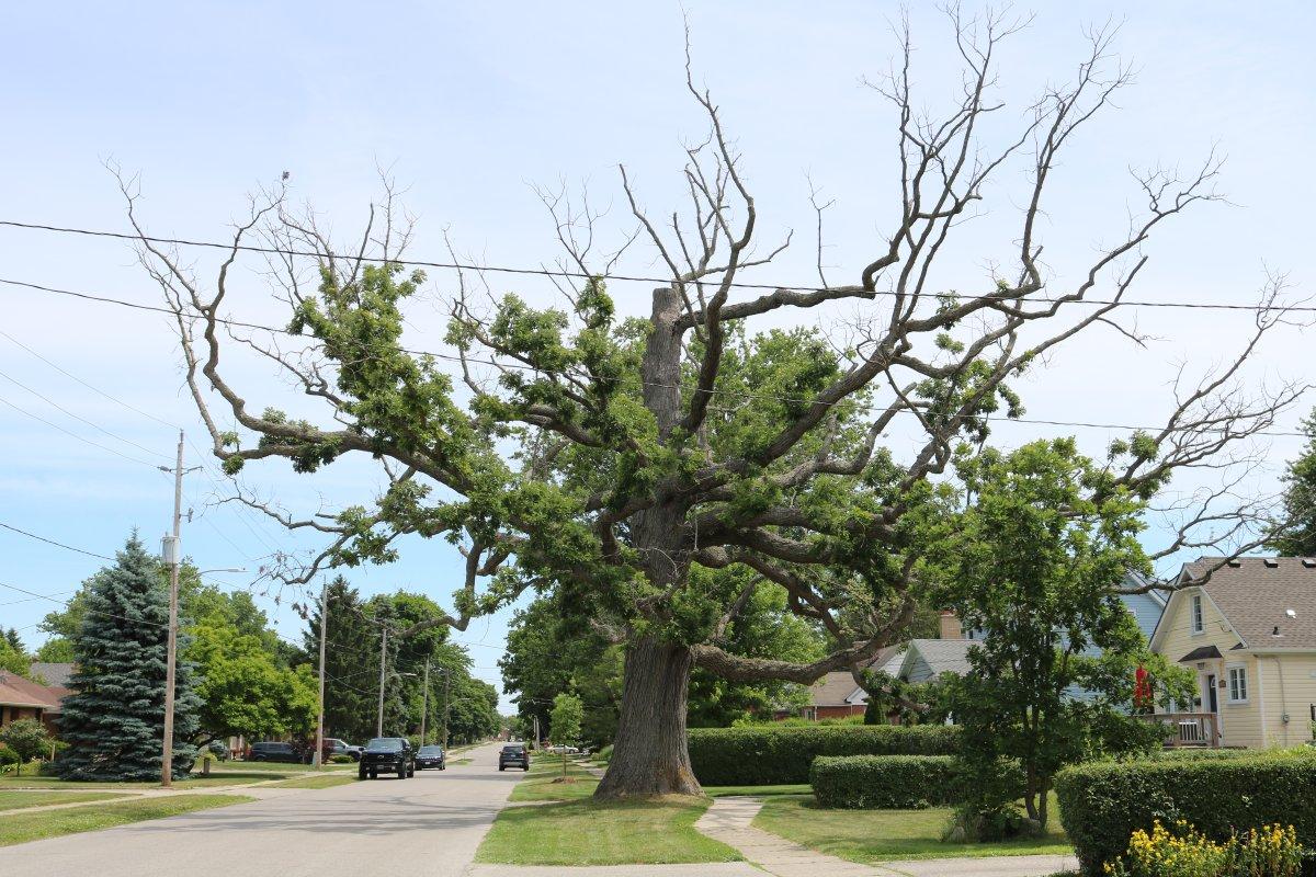 lambeth tree