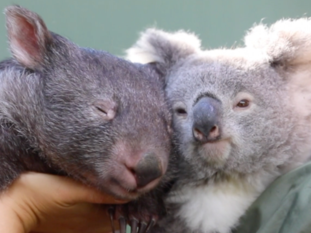 A koala and wombat formed an unlikely friendship during the coronavirus lockdowns in Australia.