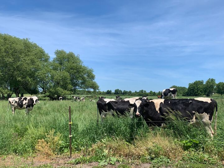 A photo of cows on farm land in Prince Edward County in Ontario on June 8, 2020.