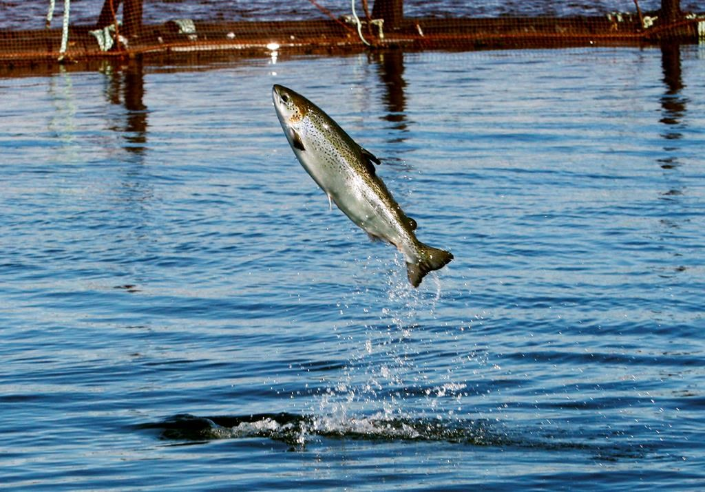 In this Oct. 12, 2008 file photo, an Atlantic salmon leaps while swimming inside a farm pen near Eastport, Maine.