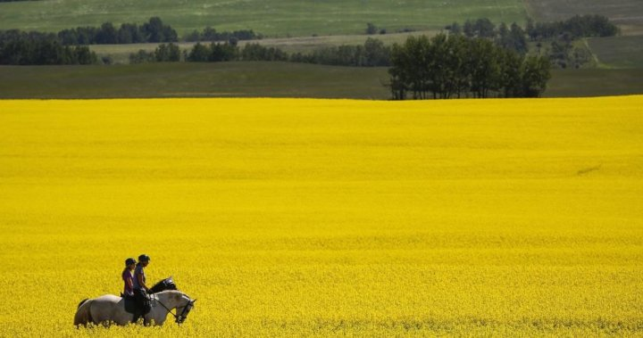Demand for Canadian canola soars as shippers find roundabout way to reach China
