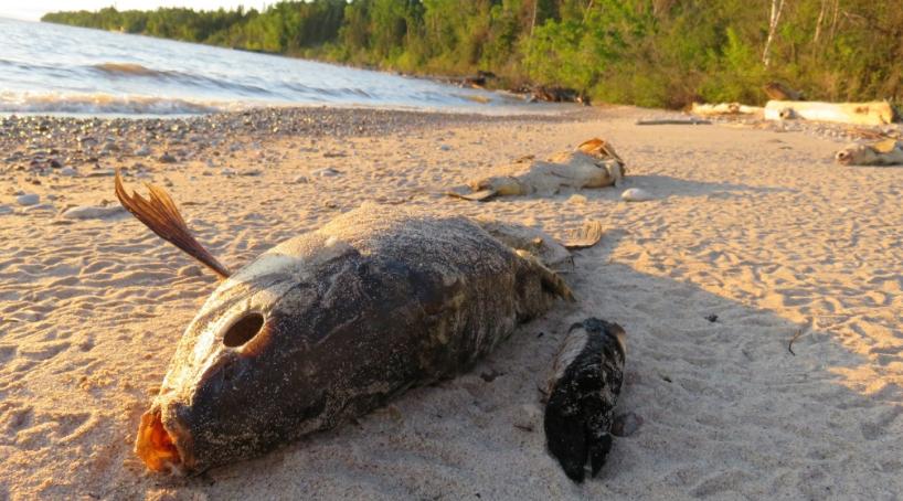 Dead carp on the shores of Lake Winnipeg.