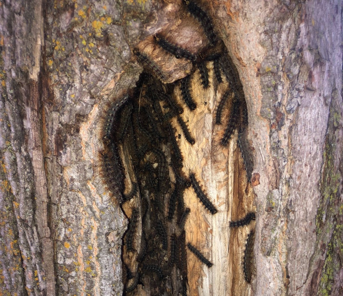 Dozens of gypsy moth caterpillars were found inside a hollowed-out tree trunk in Guelph's north end.