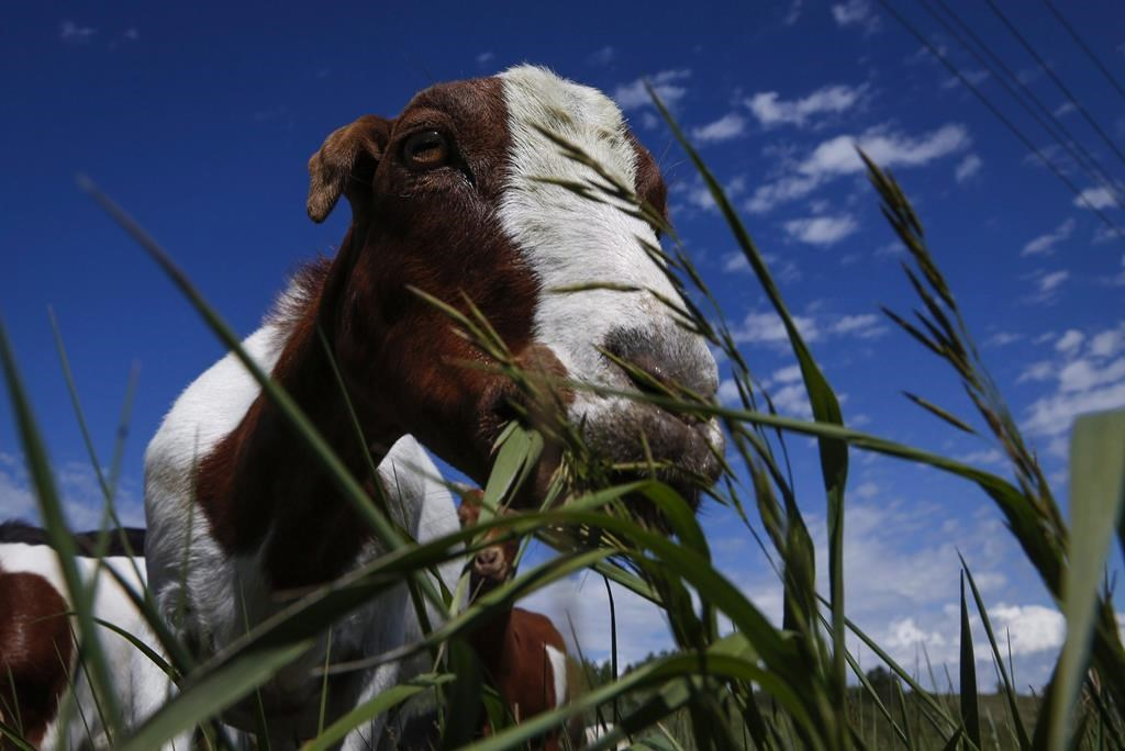 A herd of goats munch on grass and weeds at Confluence Park in Calgary on June 21, 2016.