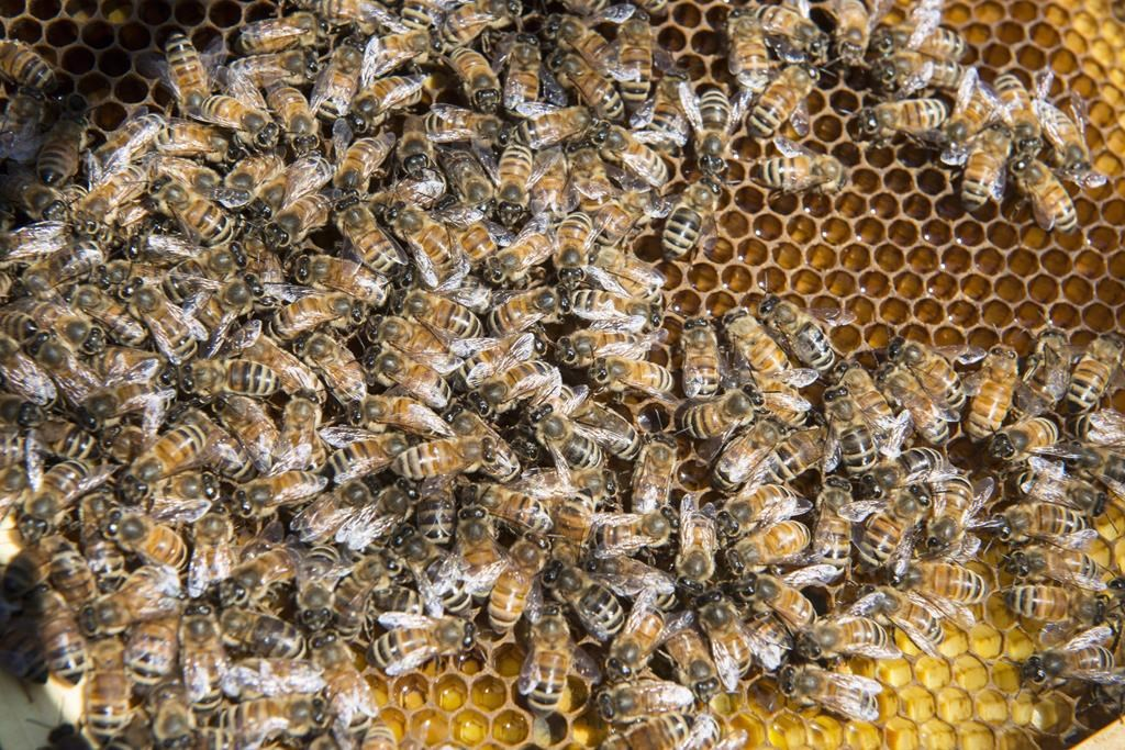 Bees are seen on a frame from a hive in Montreal on April 20, 2016. Beekeepers in New Brunswick say 2020 is shaping up as a sweet year for honey production despite the impacts of climate change and the COVID-19 pandemic. Ryan Golden, vice-president of the New Brunswick Beekeepers Association, says the last three years have seen a heavy loss of bees during the winter, but this winter and summer have been good, and hives are heavy with honey. THE CANADIAN PRESS/Paul Chiasson.