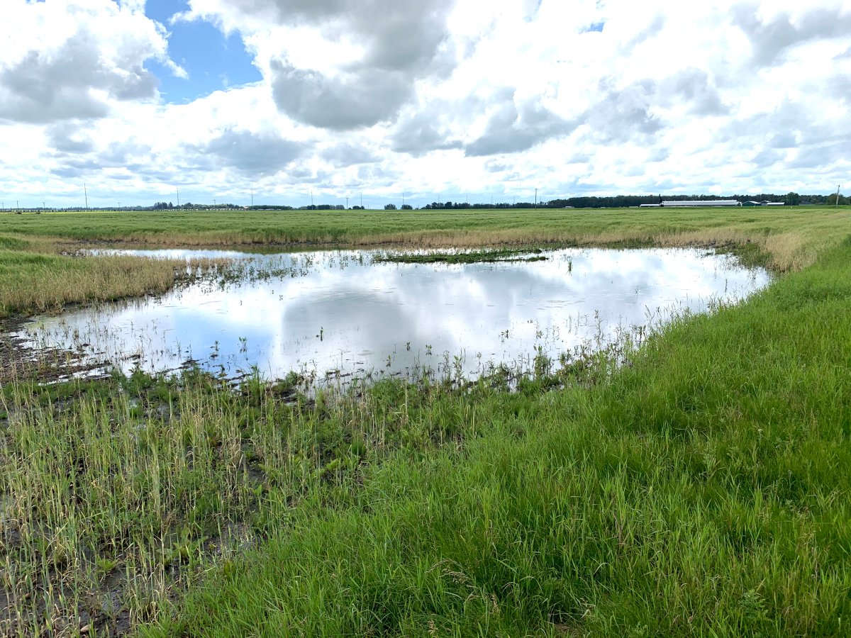 A saturated field in Leduc County Thursday, July 23, 2020.