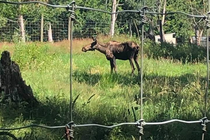 Animal rights activists are rallying at the Greater Vancouver Zoo on Sunday, after an emaciated moose was euthanized at the facility.