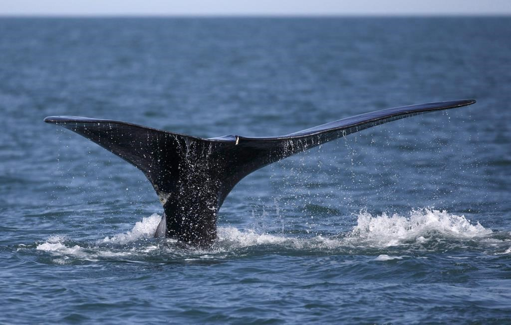 In this Wednesday March 28, 2018 photo, a North Atlantic right whale feeds on the surface of Cape Cod bay off the coast of Plymouth, Mass. A study of vessel speeds in the Cabot Strait shows that two-thirds are not complying with a voluntary speed restriction meant to protect critically endangered North Atlantic right whales that migrate through the area.