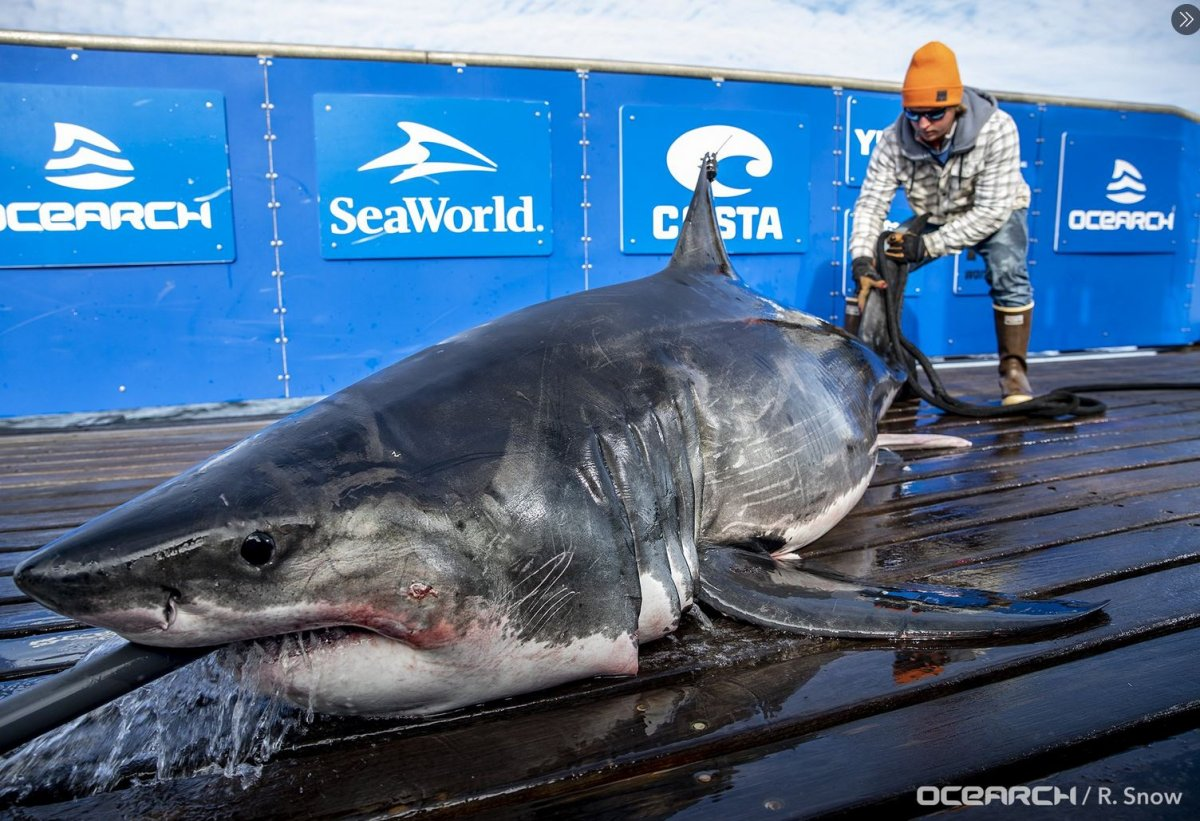 Teazer, a 10-foot-nine great white shark, was first tagged by OCEARCH off of Lunenburg, N.S., on Oct 3, 2019.
