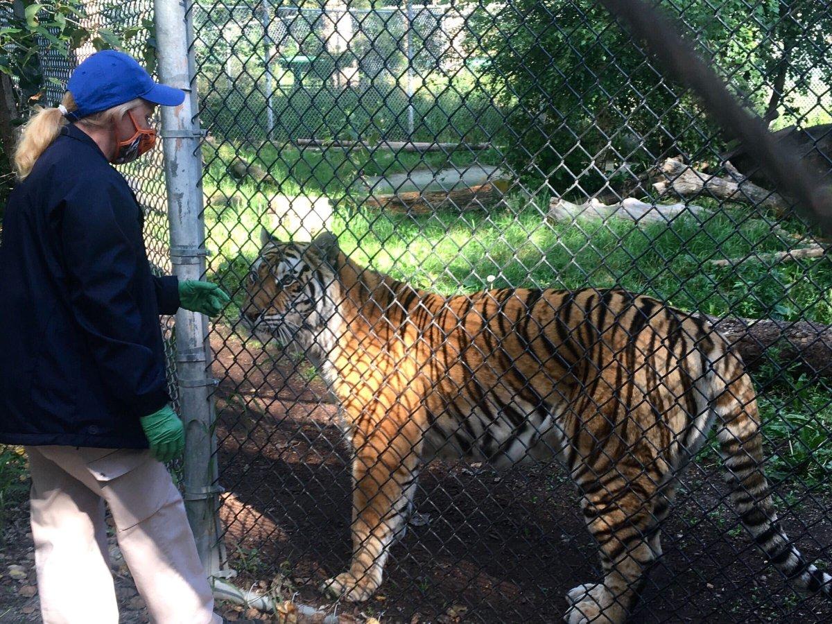 Big cats, bears, ferrets: U.S. zoo begins vaccinating animals against COVID-19 - image