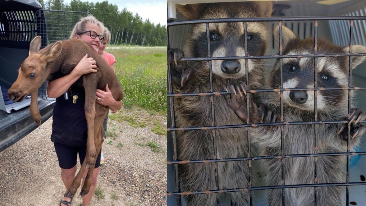 A volunteer with WRSOS helps rescue a moose calf, left; two raccoons who were surrendered after getting aggressive, right.