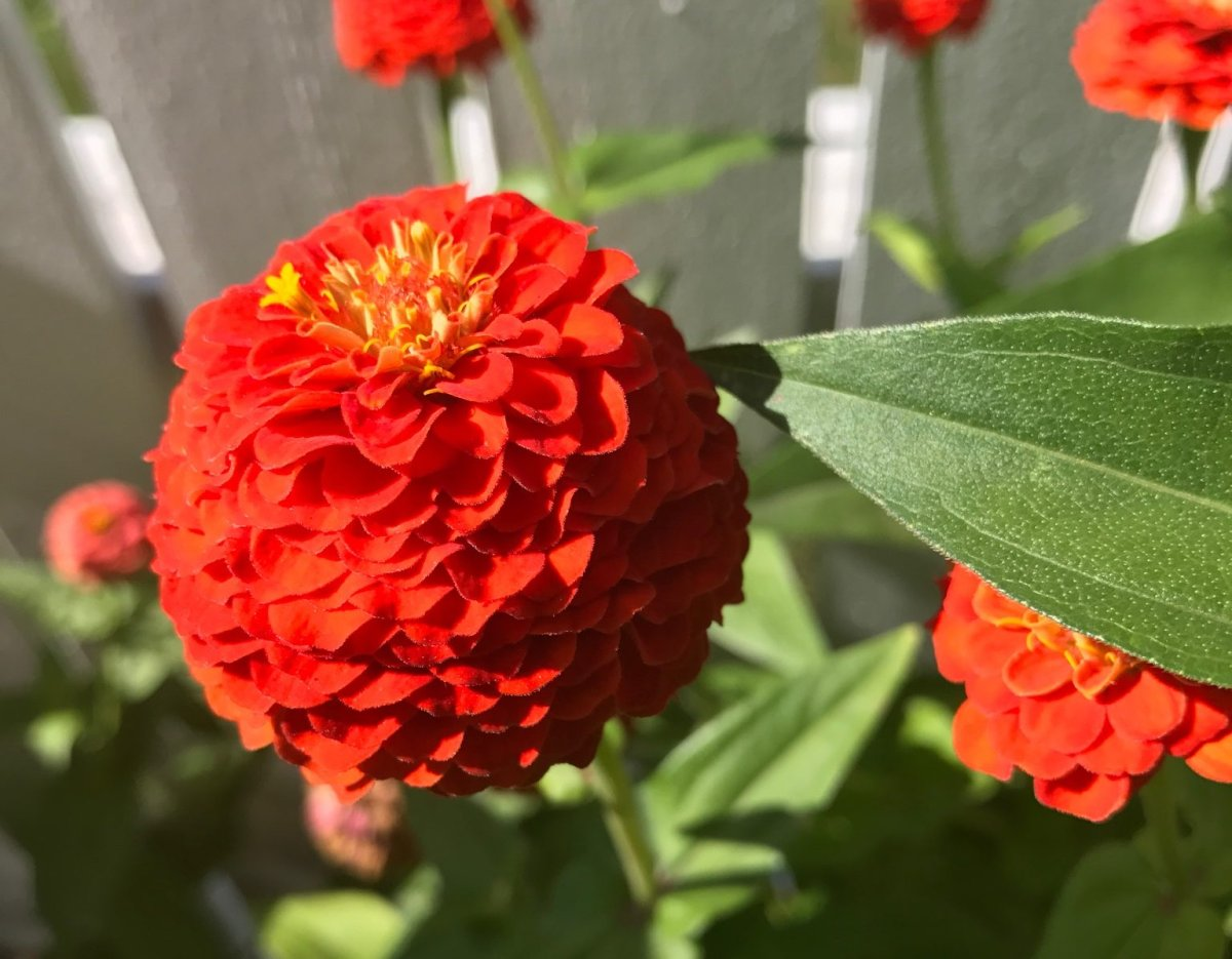 These zinnias are in high-demand among plant-pilferers from a Winnipeg yard.