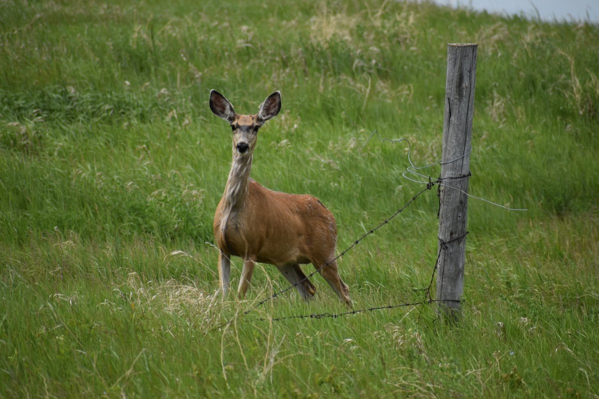 The Saskatchewan government's chronic wasting disease (CWD) surveillance program detected 528 positive cases last hunting season.