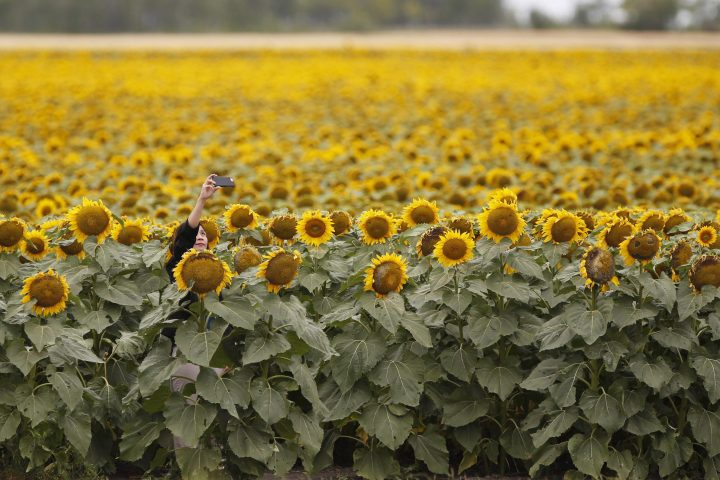People stop to take photos a sunflower field just outside Winnipeg, Tuesday, July 31, 2018. The lockdown induced by the COVID-19 pandemic seems to have left a lot of people feeling caged with many reaching out to their feathered friends by topping up their birdfeeders and driving up demand for sunflower seeds.