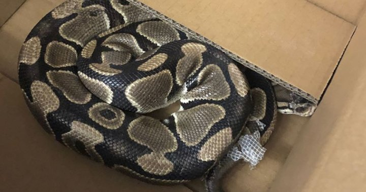 Ball python missing for over a month found safe in Victoria, B.C., neighbourhood