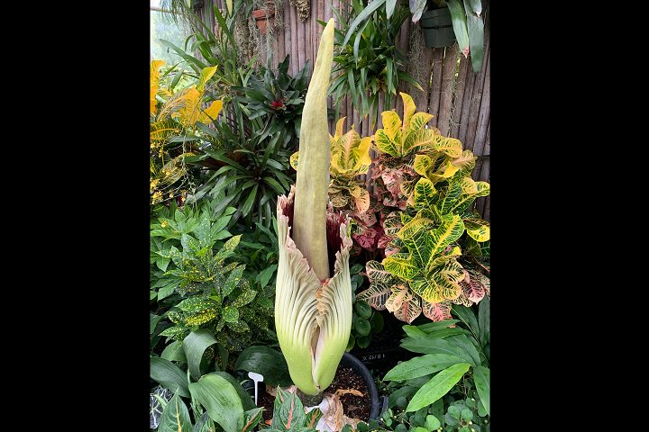 Toronto Zoo Extends Hours As Corpse Flower Blooms For 2nd Time 102 1 The Edge