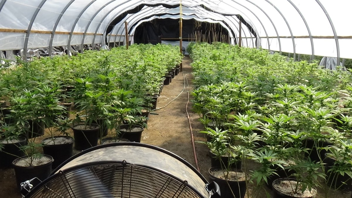 Three people were arrested after OPP seized several thousand marijuana plants at properties in Cramahe Township.