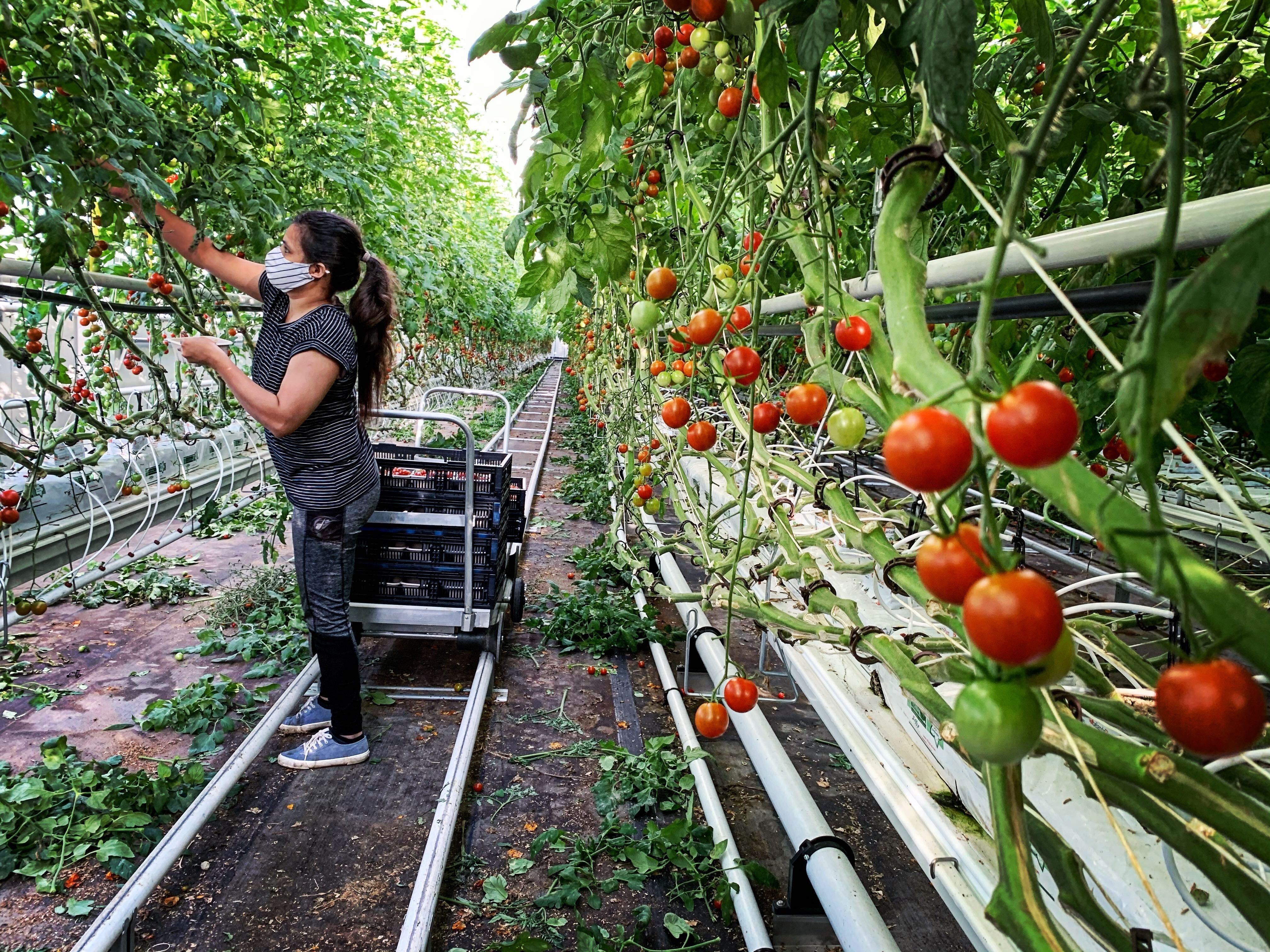 Montreal S Lufa Farms Expands Veggie Offerings With Massive Rooftop Greenhouse Montreal Globalnews Ca