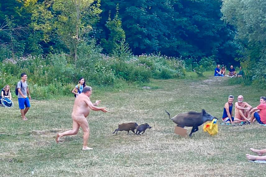 Cheeky boars lead nudist on a wild chase for his laptop