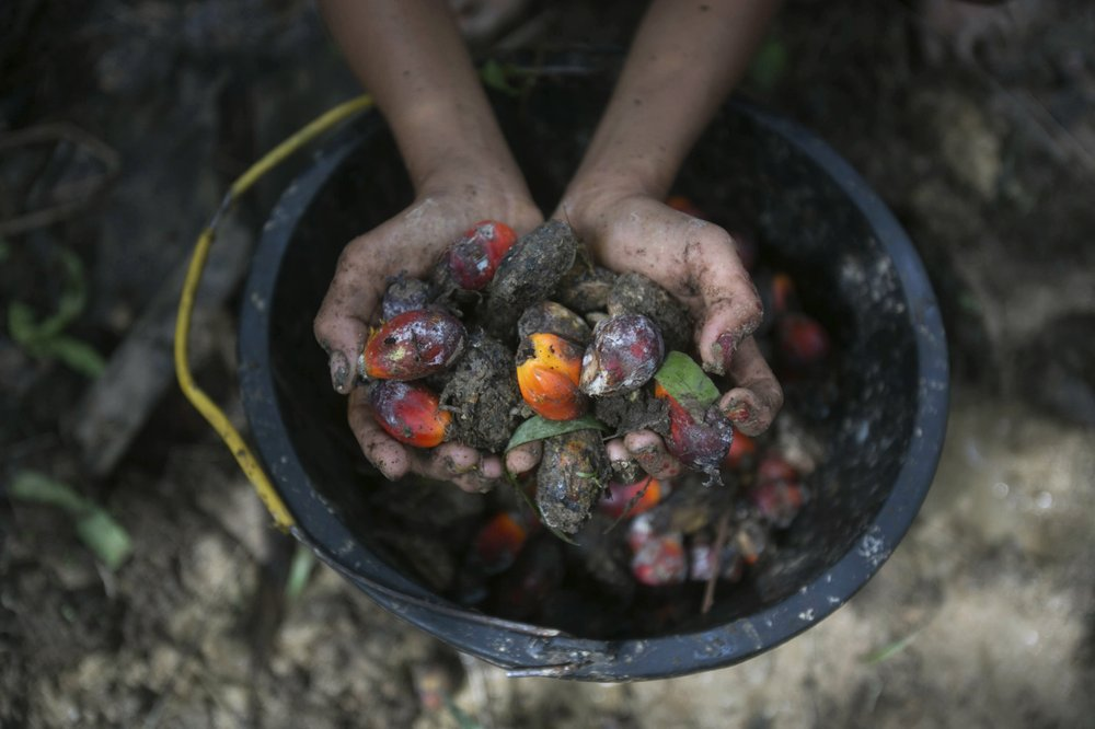 A little girl holds palm oil fruit collected from a plantation in Sumatra, Indonesia, Nov. 13, 2017. An Associated Press investigation has found many palm oil workers in Indonesia and neighboring Malaysia endure exploitation, including child labor.
