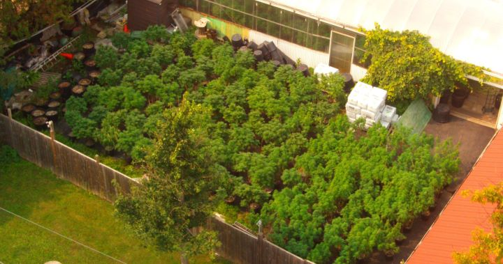 Police say a Cannabis Act warrant was executed on Wednesday and that officers seized 235 cannabis plants that were about five to seven feet in height.