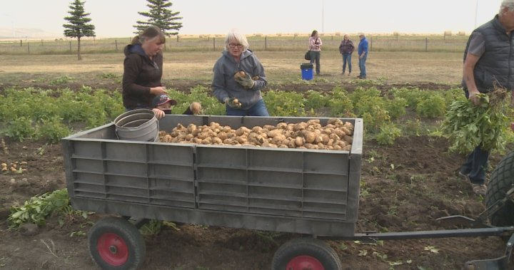 Victory garden harvest at southern Alberta museum yields nearly 1,300 pounds of vegetables