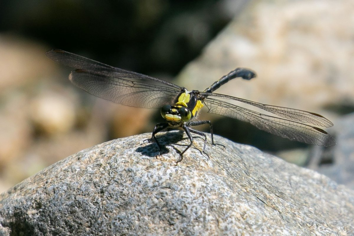 The Grappletail Dragonfly has not been seen in 40 years.