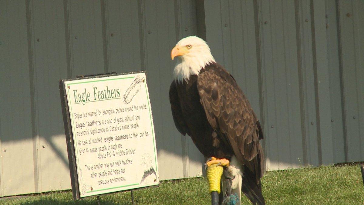 An eagle at the Alberta Birds of Prey Centre in Coaldale, Alta.
