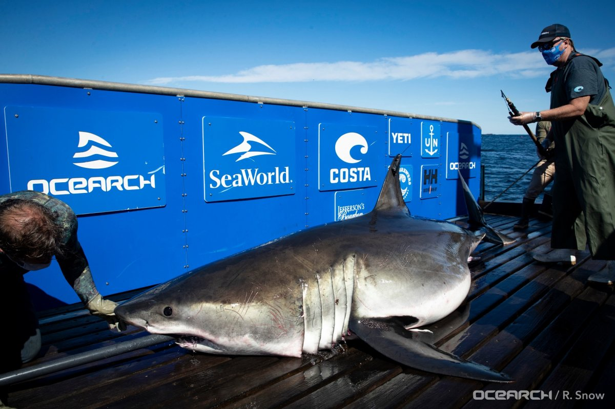 The team successfully tagged its first white shark on Sept. 13.