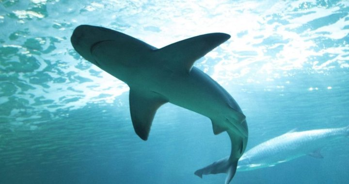 'Staggering' 71% decline in shark, ray populations cause for concern: SFU researchers