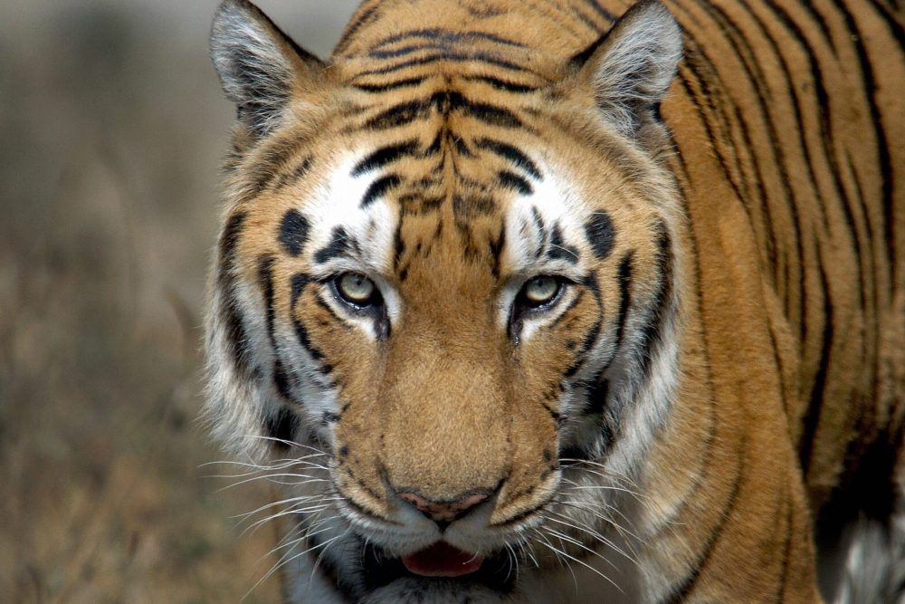 An Indian Bengal tiger is shown in this file photo from Jan. 28, 2006.