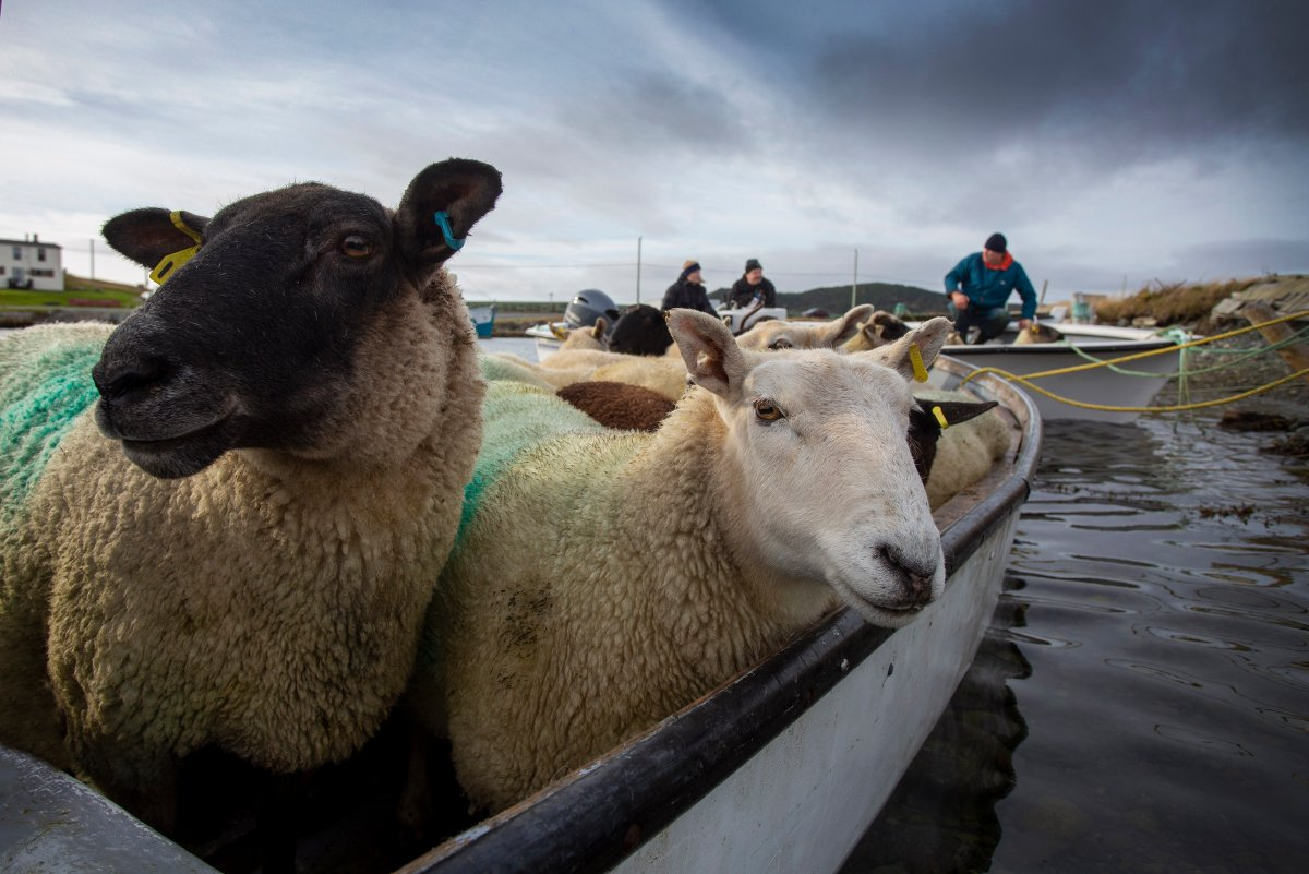 Sheep wait to disembark the small open boat that transferred them from the Isle aux Bois to Ferryland, N.L. on Saturday, October 24, 2020.  The Morry family let their sheep roam the small uninhabited island off Ferryland during the summer.  THE CANADIAN PRESS/Paul Daly.